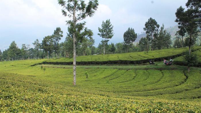 Photo of Agrowisata Tambi Tambah Homestay dan Bangun Tea Corner